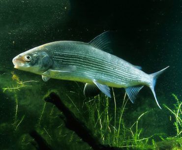 česká ryba