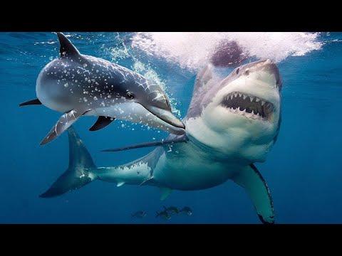 souboj žralok