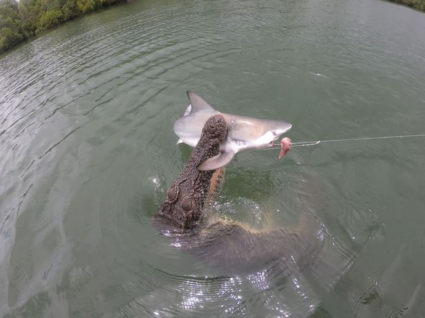 žralok versus krokodýl