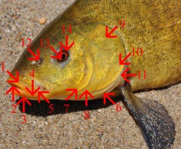 vnější znaky ryb